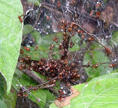 Anelosimus-Spinnen arbeiten zusammen um größere Beute zu erlegen