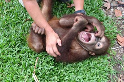 Auch Affenkinder sind kitzelig