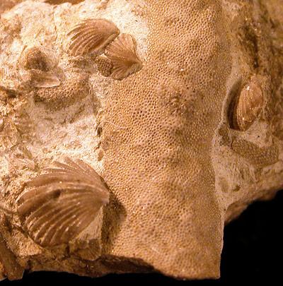 Warum gibt es Meeresfossilien wie diese Muscheln selbst in Gebirgen?