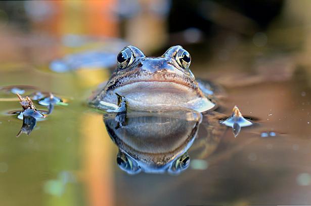 Fröschen und anderen Amphibien steht das Wasser auch bildlich gesprochen bis zum Hals.