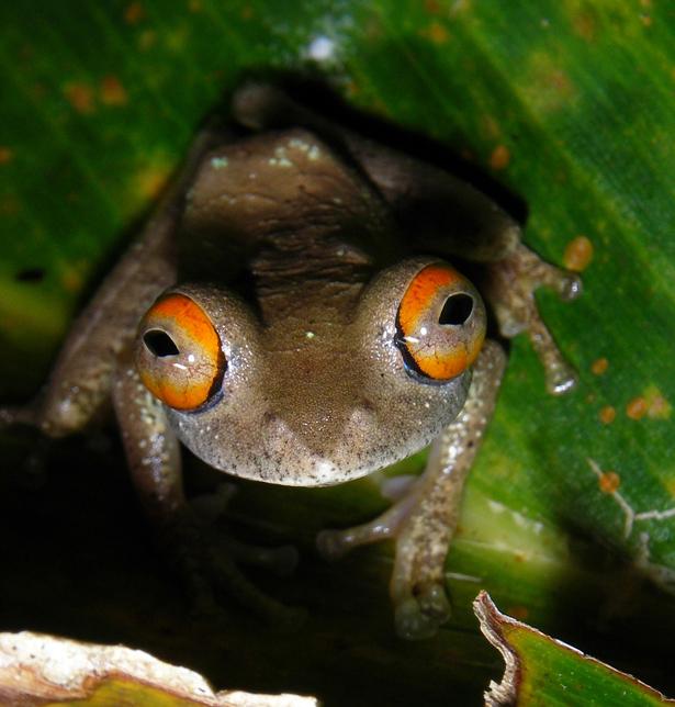 Dieser Frosch (Boophis quasiboehmei) kommt nur auf Madagaskar vor.