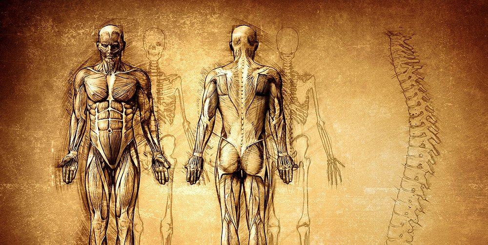 Anatomie hat eine jahrhundertelange Tradition, doch in den letzten Jahren erlebt sie eine Renaissance.© cosmin4000/ iStock