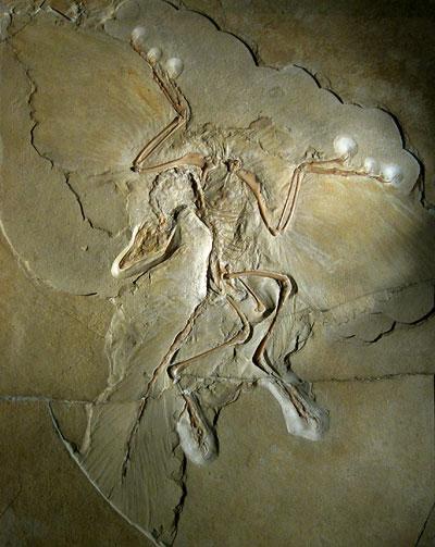 """Das 1876 gefundene """"Berliner"""" Exemplar des Archaeopteryx lithographica"""