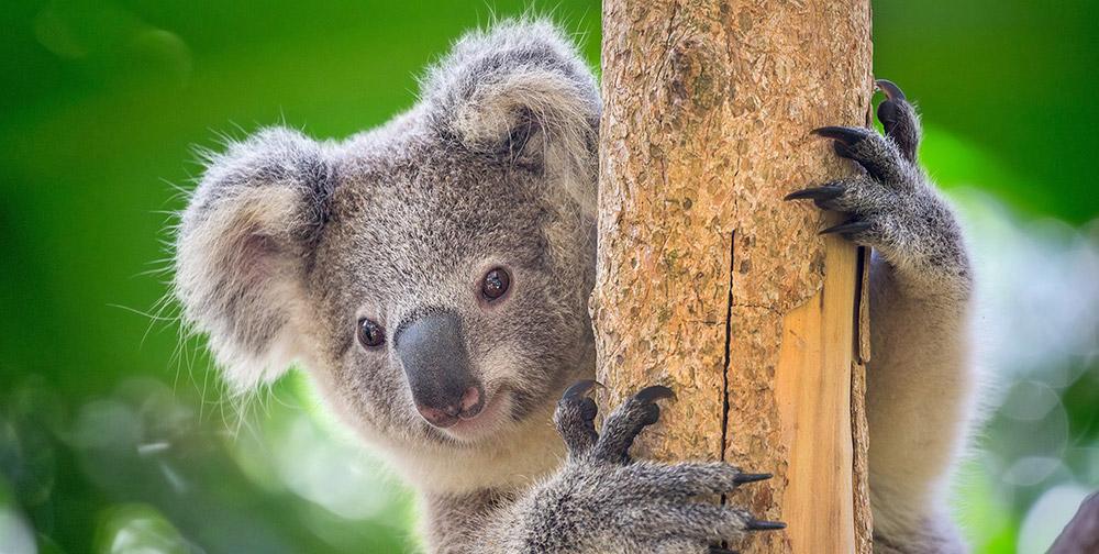 Koalas sind niedlich und mobilisieren daher viele Bemühungen zu ihren Schutz. Aber was ist mit weniger prominenten und tourismusträchtigen Arten? © undefined/ Getty images