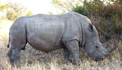 Breitmaulnashorn in Südafrika