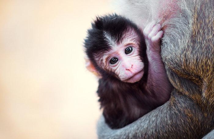 """<span class=""""img-caption"""">Junger Javaneraffe – diese Primaten sollen künftig als Tiermodell für Autismus dienen.</span> <span class=""""img-copyright"""">© Rocky89/ istock</span>"""