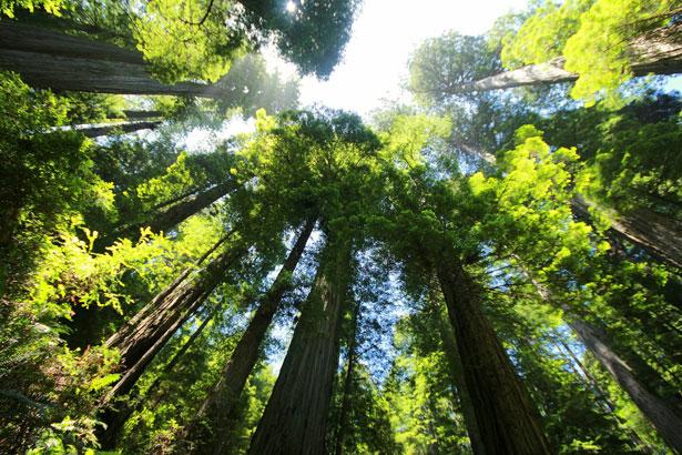 Besonders grüne Riesen wie diese Küstenmammutbäume leiden unter dem Klimawandel.