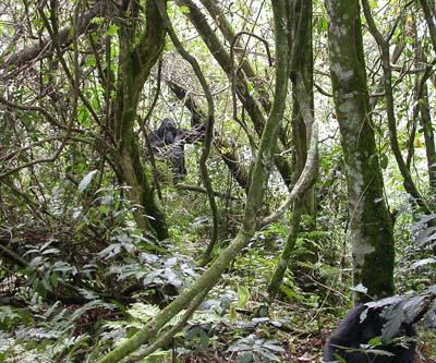 Nicht leicht zu entdecken: Gorilla im Dickicht