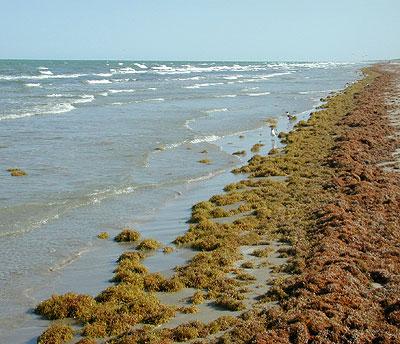 Sargassum-Seetang an der Küste Floridas