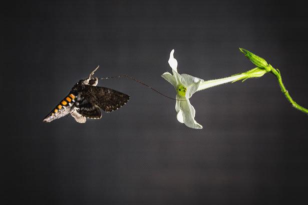 Nachtfalter wie der Tabakschwärmer bestäuben häufig weiße Blüten.