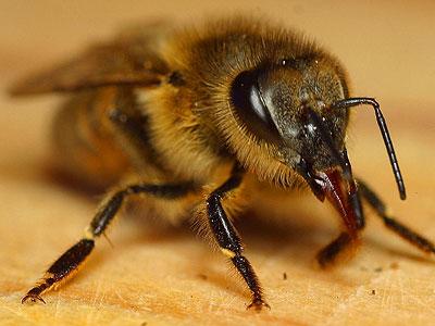 Biene mit halbausgetrecktem Rüssel