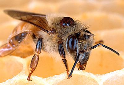 Arbeiterin mit Varroamilbe auf dem Rücken