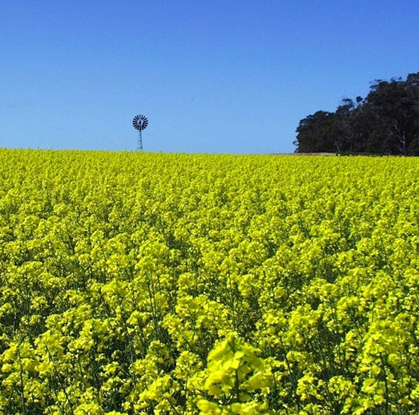 Von wegen Klimaschutz: Bioenergie aus Raps und anderen Pflanzen zu gewinnen, trägt nur selten zur Stabilisation des Klimas bei.