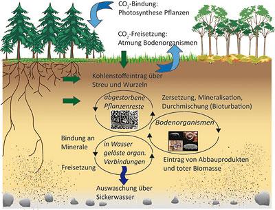 Wichtigste Kohlenstoffflüsse und Umsetzungen im Boden