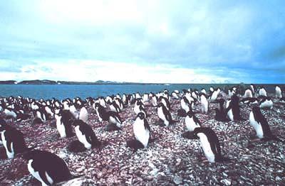 Adelie-Pinguine