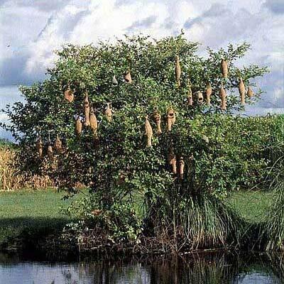 Baum mit Webervogelnestern