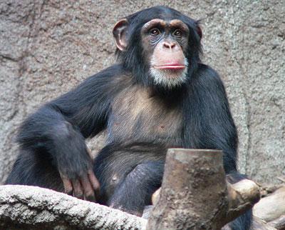 Schimpanse: Lachen statt pant-hoots?