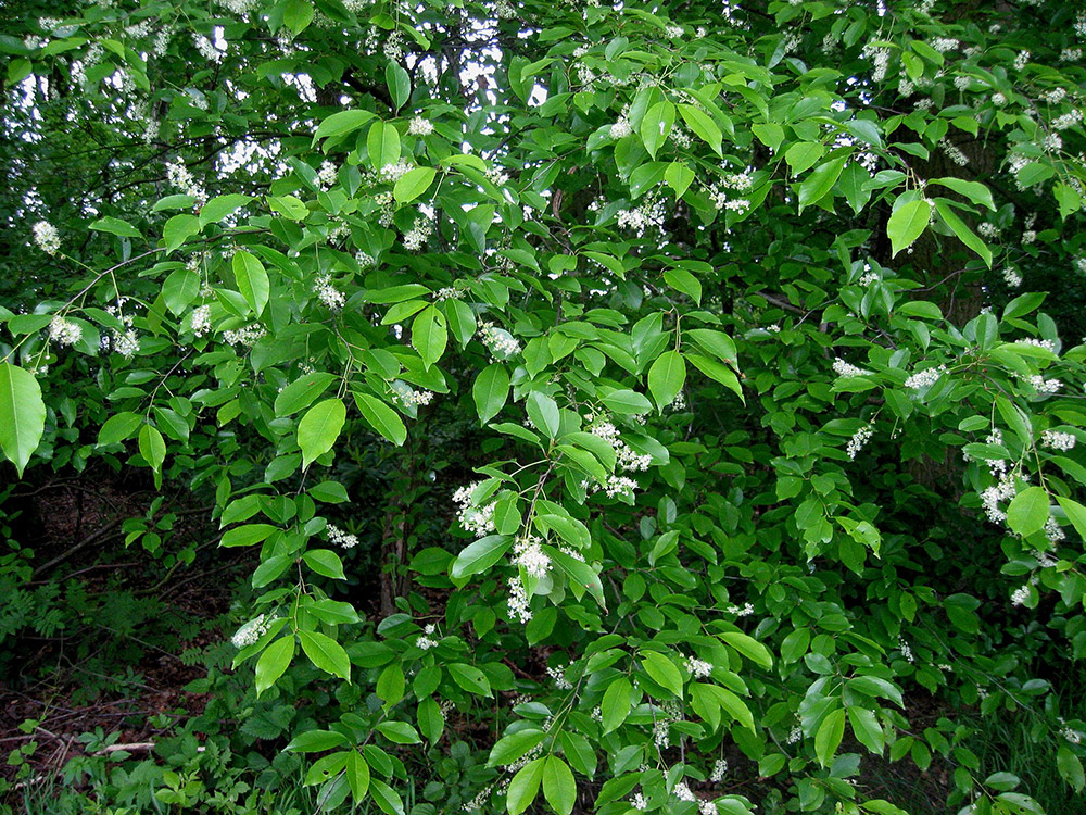 """<span class=""""img-caption"""">Die Spätblühende Traubenkirsche ist eine nichtheimische Baumart, die sich zur invasivem """"Waldpest"""" entwickelt hat.</span> <span class=""""img-copyright"""">© Rasbak/<a href=""""http://creativecommons.org/licenses/by/3.0"""" target=""""_blank"""">CC-by-sa 3.0</a></span>"""