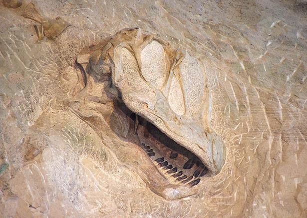 Dinosaurier-Fossilien wie dieser Camarasaurus-Schädel sind nach Ende der Kreidezeit nicht mehr zu finden.