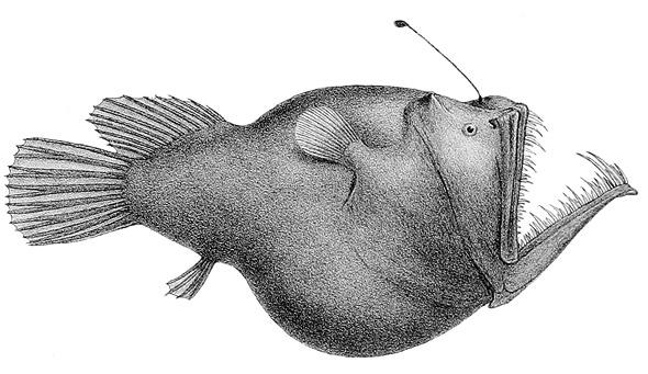 """Aus den Expeditionsberichten: """"Murrays Anglerfisch"""", im Mittelatlantik aus einer Tiefe von etwa 1.500 Faden (2,7 Kilometer) heraufgeholt"""