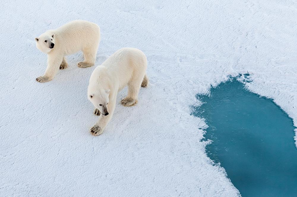 """<span class=""""img-caption""""> Eisbären sind auf dem arktischen Eis eine reale Bedrohung.</span> <span class=""""img-copyright"""">© Mario Hoppmann/ AWI</span>"""