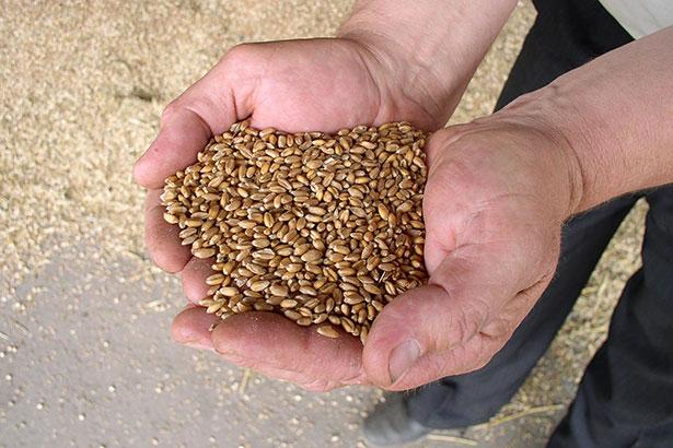 Eine Handvoll Getreide - aber warum und wann erfanden unsere Vorfahren die Kulturtechnik der Landwirtschaft?