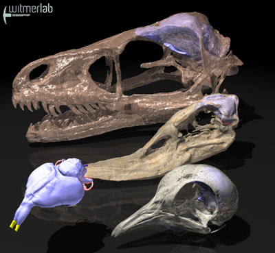 3D-Rekonstruktion der Gehirne und Riechkolben bei einigen Dinosauriern und Vögeln