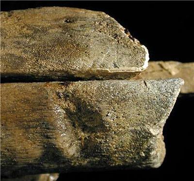 Biss-Spuren eines Artgenossen am Kiefer des Ichthysauriers