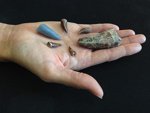 Zähne von Phytosauriern, der  graue ist eine Reproduktion des im Rauisuchiden-Kncohen entdeckten Exemplars.