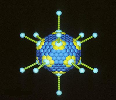 Schema eines Adenovirus