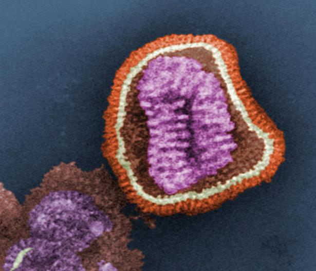 Influenzavirus: Die Struktur der Virenhülle entscheidet darüber, ob dieser Erreger in eine menschliche Zelle eindringen kann.