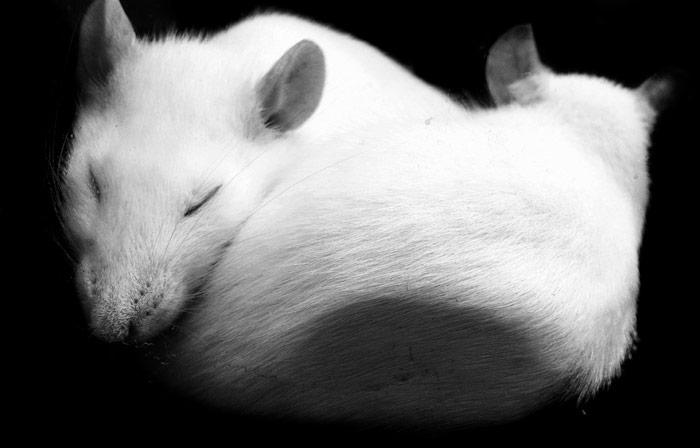 "<span class=""img-caption"">Auch Ratten könnten empathisch sein.</span> <span class=""img-copyright"">© Crissy/ thinkstock</span>"