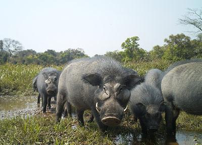 Warzenschweine kommen im Chinko gemeinsam mit zwei weiteren Buschschwein-Arten vor.