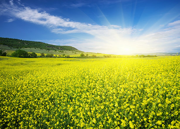 Das leuchtende Gelb dieses Rapsfelds scheint kaum zu übersehen - aber  existiert es auch außerhalb unserer Wahrnehmung?