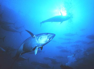 Thunfisch - Nahrung für uns, aber auch wichtiger Teil des Ökosystems Meer