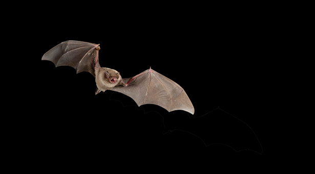 Fledermäuse sind die einzigen Säugetiere, die aktiv fliegen können.