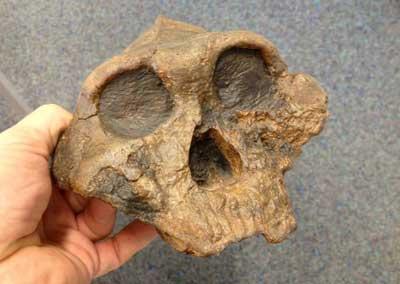 Fossiler frühmenschlicher Schädel