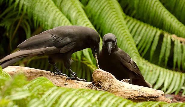 Krähen bei der Arbeit: Aufmerksam beobachtet der Artgenosse, wie die andere Krähe den Stock als Werkzeug zur Nahrungsbeschaffung einsetzt.