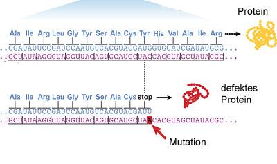 Eine Mutation in einem proteinkodierenden Gen erezugt ein unvollständiges Protein