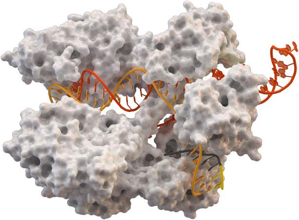CRISPR/ Cas-Komplex mit DNA: Bei Bakterien dient er der Virenabwehr.