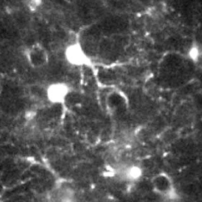 Astrozytenzelle