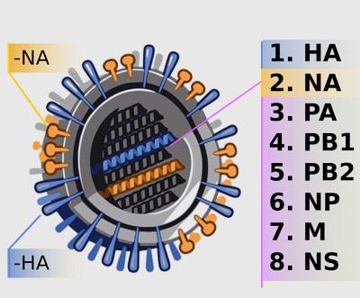 Acht Gene, zwei davon prägen die Oberfläche und damit das Profil der Viren