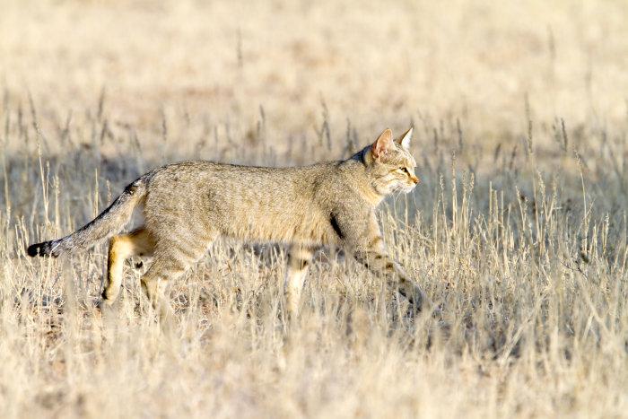 """<span class=""""img-caption"""">Alle Hauskatzen stammen von der afrikanischen Wildkatze, auch Falbkatze genannt, ab.</span> <span class=""""img-copyright"""">© Angelika/ istock</span>"""