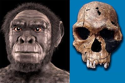Homo habilis - war er unser Vorfahre? Hier eine Rekonstruktion und ein fossiler Schädel.