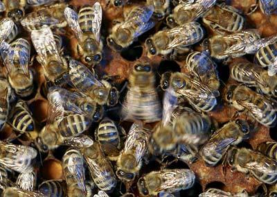 Bienen im Nest