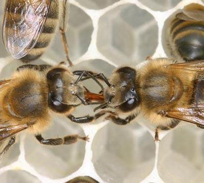 Per Mund-zu-Mund-Fütterung versorgt eine Tankstellenbiene (rechts) eine Heizerin mit Honig.