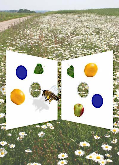 Honigbienen im Experiment