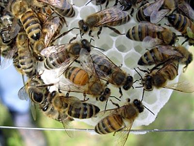 Arbeiterbienen