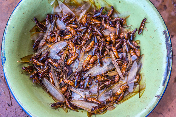 Zu Beginn der Regenzeit schwärmen die gefügelten Jungtermiten - sie lassen sich gut braten oder dem Hirsebrei beimengen.