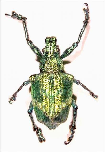 Brasilianischer Käfer